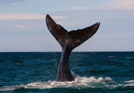 cape-town-garden-route-whale watching