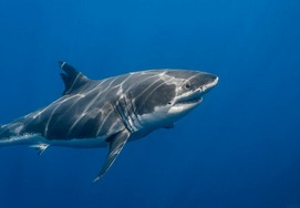 great-white-shark-tour