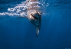 Great White shark diving