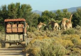 safari-tour-drive-giraffes