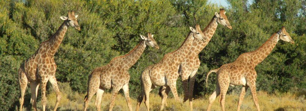 big-5-safari-giraffe