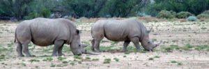 big-5-safari-rhino