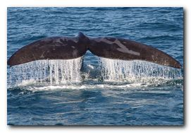 whale-watching-hermanus