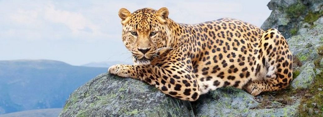 cape mountain leopard, south africa