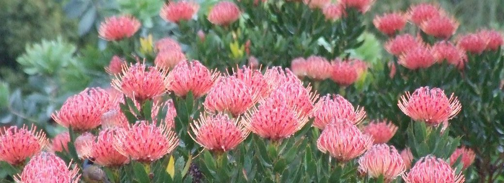 Pincushions at Kirstenbosch Botanical Garden with the cape-town-garden-route-tour