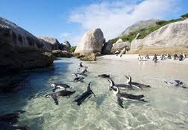 African penguin colony in Simon's Town