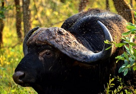 Buffalo at the Kruger National Park