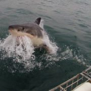 cape-town-short-tour-2daysharkdiving-1