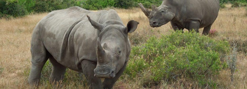 cape-town-short-tour-2daywinesafari-rhino
