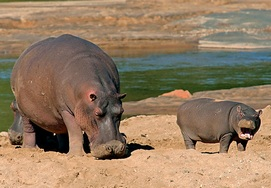 south-african-tour hippo
