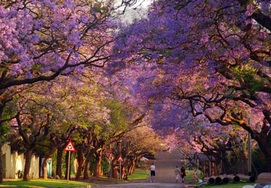 south-african-tour pretoria jacaranda trees