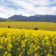Canola fields near Cape Town