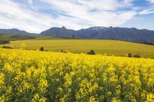 Canola fields near Cape Town