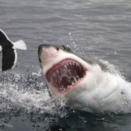 THE GREAT WHITE SHARK TOUR