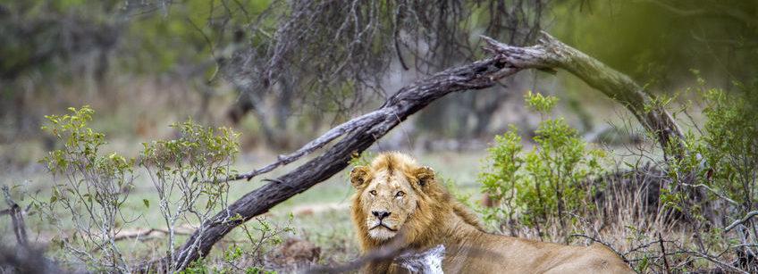 Lion at the Kruger National Park