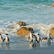 Penguins at Boulders Beach in Simon's Town