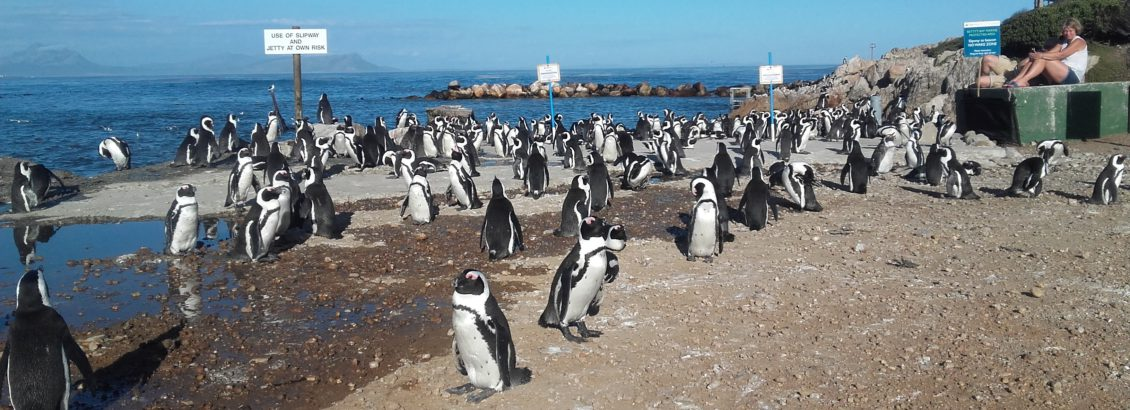 Stoney Point penguin colony in Betty's Bay