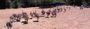 Baby Ostriches on a Ostrich farm in Oudtshoorn