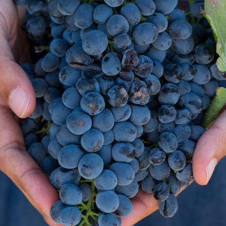 Holding_grapes_950x595