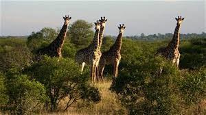 Giraffi's in the Kruger National Park