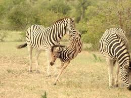 Zebras in the Kruger National Park
