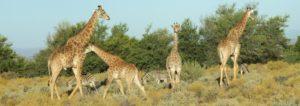 Giraffes and Zebra grazing together in the Kruger National Park