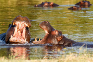 Two young male hippos playing in the water