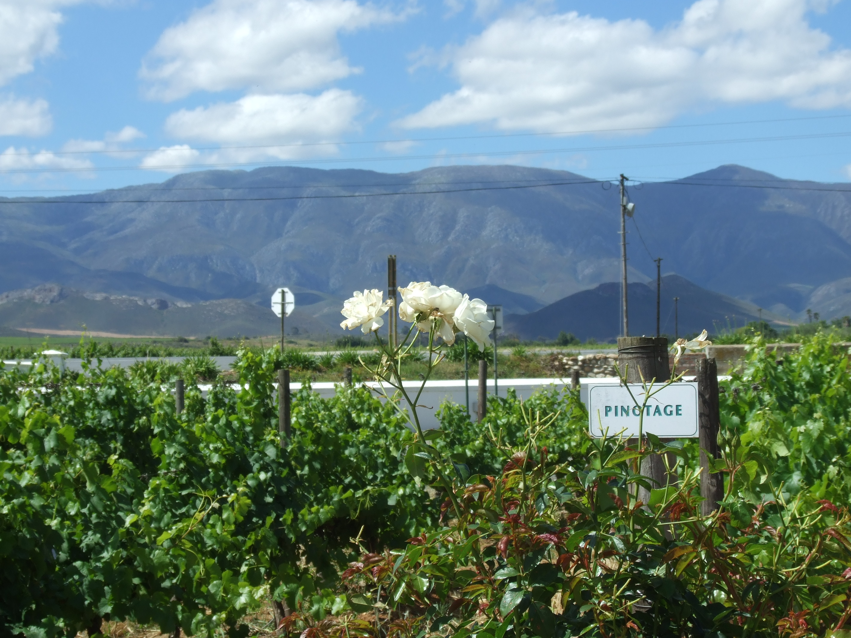 Wine Estate with great Pinotage grapes to eventually taste