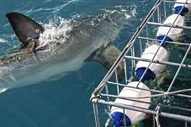 Great White Sharks swimming close to the boat