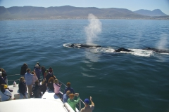 10. Southern Right whales swimming next to the boat