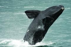 Whale breaching in Walker Bay