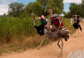 cape-town-garden-route-tour-Ostriches running