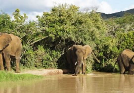 Elephants frolicking in the water up the Garden Route