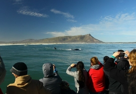Boat based Southern Right Whale Watching in Hermanus