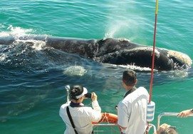 Southern Righte Whales in hermanus