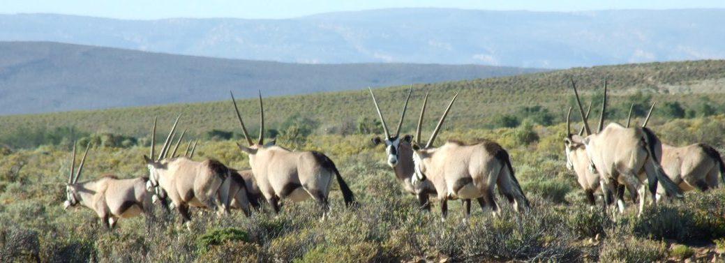 big-5-safari-gemsbok