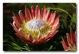 kirstenbosch-king-protea