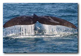 whale-watching-hermanus