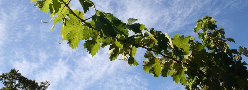 wine-grapevine