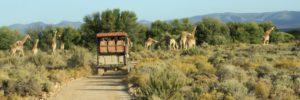 cape-town-short-tour-3daywinesafari-giraffe