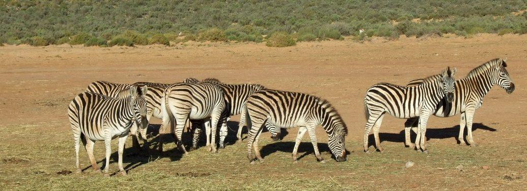 cape-town-short-tour-3daywinesafari-zebra