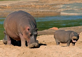 south-africa-tour-hippo