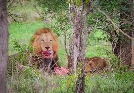 south-african-tour lions
