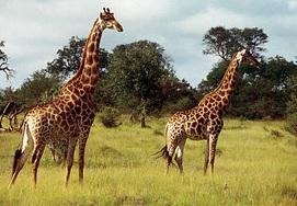 south-african-tour giraffe