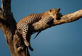 south-african-tour22days-leopard