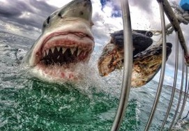 south-african-tour22days-great white sharks