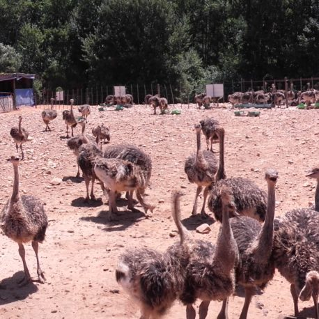 Baby Ostiches in Oudtshoorn