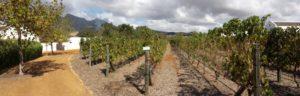 Vineyards in the Franshhoek area