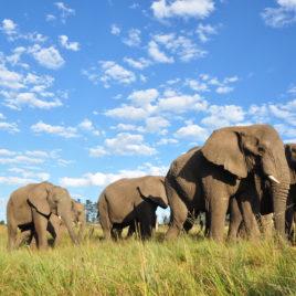 Elephants walking in the Addo Elephant Park