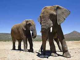 African Elephants in the Kruger National Park close to the Orphen Gate